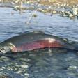 Idaho salmon industry feels the pain from dismal runs