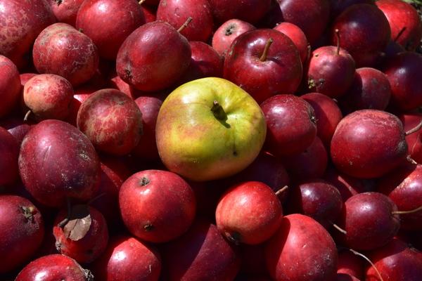 Apfelernte (Foto: Jana Hobe )