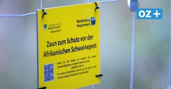Afrikanische Schweinepest: MV baut zweiten Zaun an Polens Grenze