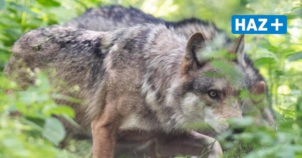 Jagdrecht: Niedersachsen will Abschuss von Wölfen erleichtern