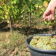 """Vendanges en Alsace : la tradition du """"Neier Siasser"""" ou vin nouveau   France Bleu"""