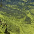 Researchers use algae to treat wastewater