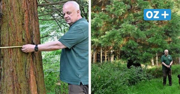 Gostorf: Wie ein Riesenmammutbaum nach Nordwestmecklenburg kam