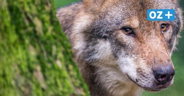 Junge Tiere erschossen? Zwei Tote Wölfe in der Elbe gefunden