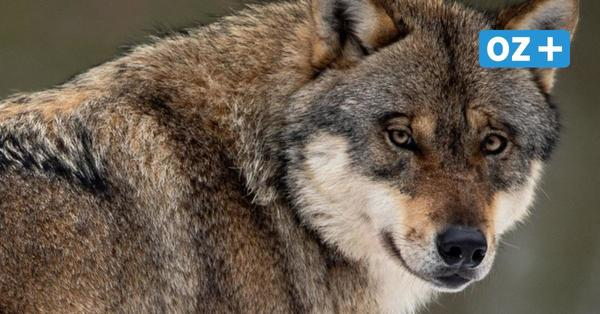 Nach Fund von getöteten Wölfen in MV –Belohnung für Hinweise ausgelobt