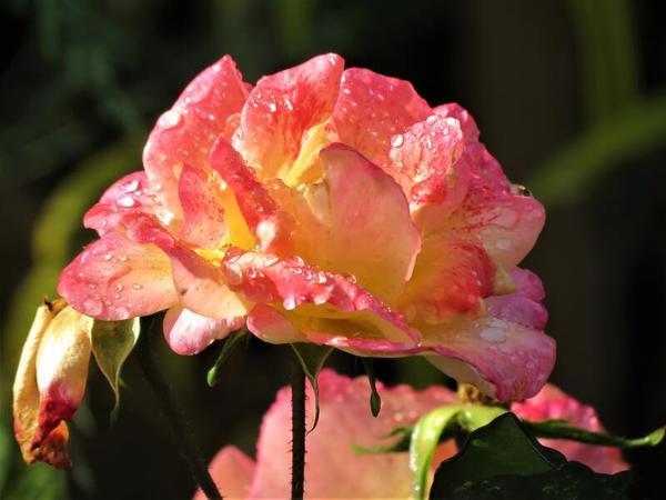 Rose mit morgendlichem Schmuck (Foto: Meike Altenburg)