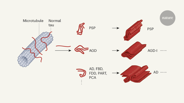 Structural strains of misfolded tau protein define different diseases