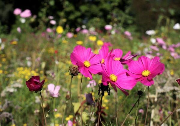 Wildblumenwiese am Ploggensee in Grevesmuehlen (Foto: Carola Bühring)