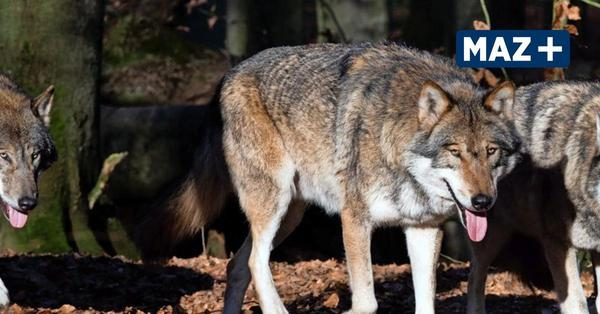 Döberitzer Heide: Ziegen und Schafe gerissen - der Wolf ist in der Heide angekommen
