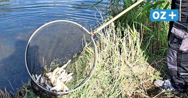 Erste Vermutung: Daran könnten tausende Fische auf Usedom gestorben sein