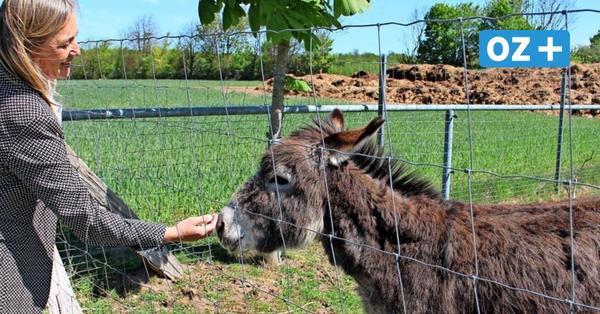 Tote Esel bei Warnemünde: Hotel trauert um Fiona und Biene – Was ist passiert?