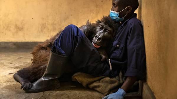 Gorilla-Dame Ndakasi in Armen ihres Pflegers gestorben – weltberühmt durch Selfie