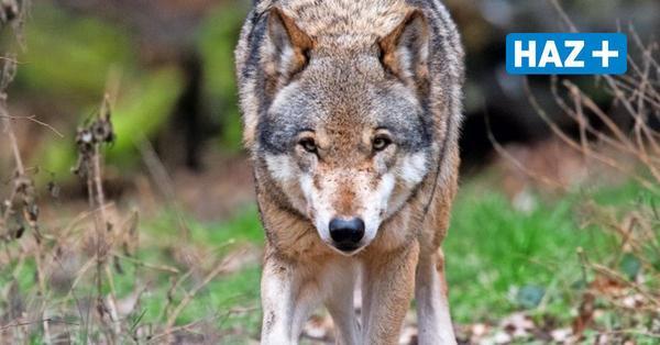 Wolf in Hannover-Kleefeld: Mehrere Personen melden Sichtung im Hermann-Löns-Park