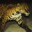 Man's best friend could be a jaguar's next meal