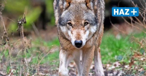 Hinweise auf Wölfe im Hermann-Löns-Park haben sich nicht bestätigt