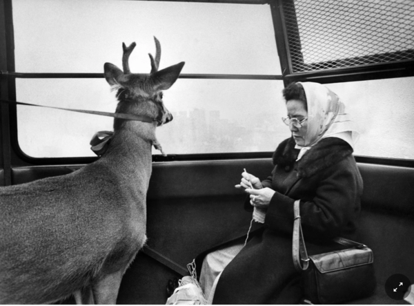 Reindeer Richard on the Roosevelt Island tram this morning on his way to visit the children of the island. An islander, Mrs. Ylu, seems undisturbed by the seasonal passenger. December 1977.Credit. Chester Higgins Jr./The New York Times