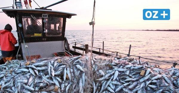 Fangverbot: Schleppnetzfischer wracken Schiffe ab – Fischwerk verarbeitet letzten Ostseehering