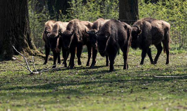 Die Wisente sind das größte Landsäugetier Europas und Namensgeber des Geheges in Springe. (Foto: Peter Steffen/dpa)