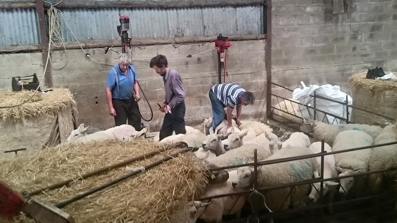 Sheep Shearing @ Killruddery House and Gardens