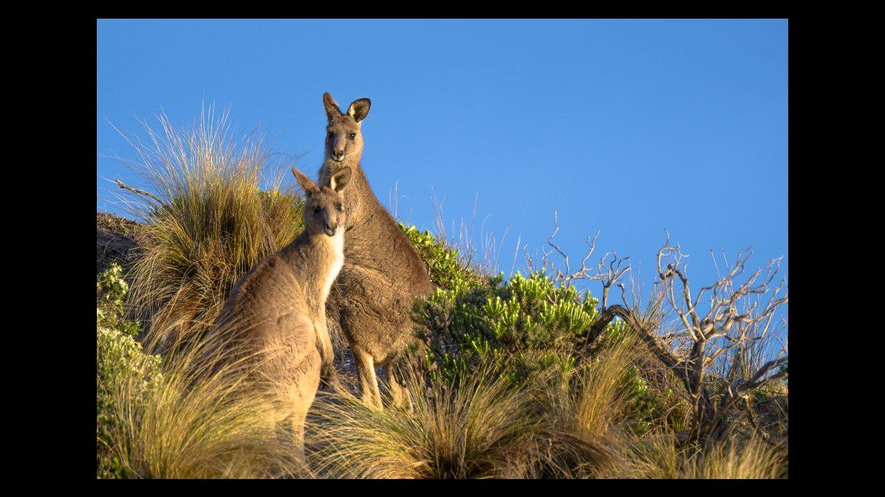 Kangaroos are often seen on the Walk