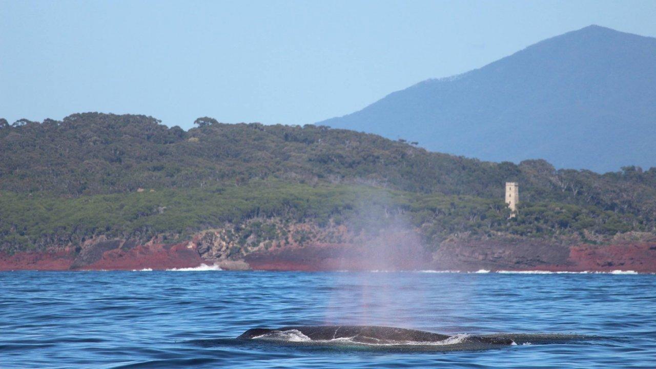 Humpback cruising near Boyds Tower