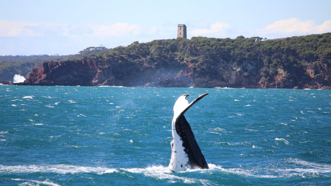 Humpback whale tail off Boyds Tower