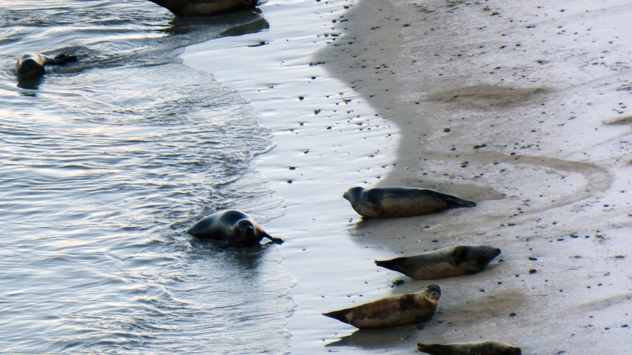 Common Seals, Rerwick
