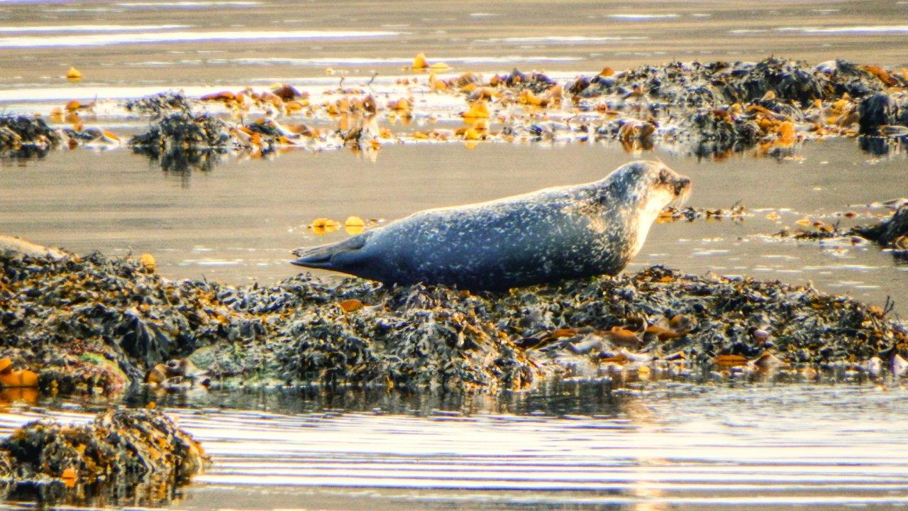 Common seal, Haroldswick