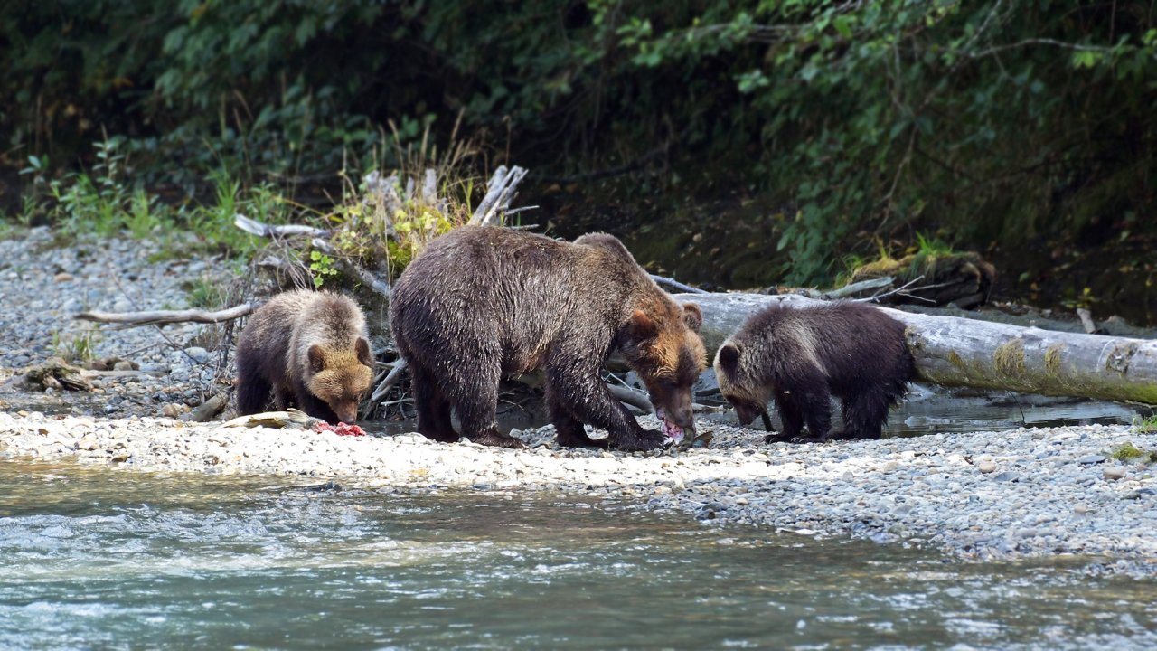 grizzly bear tour - british columbia, canada - campbell river