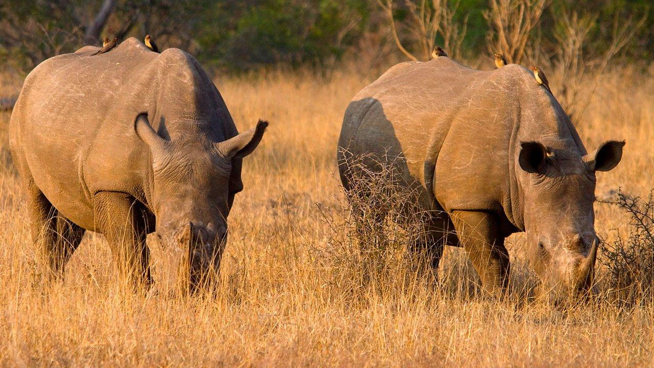 Two White Rhino Grazing