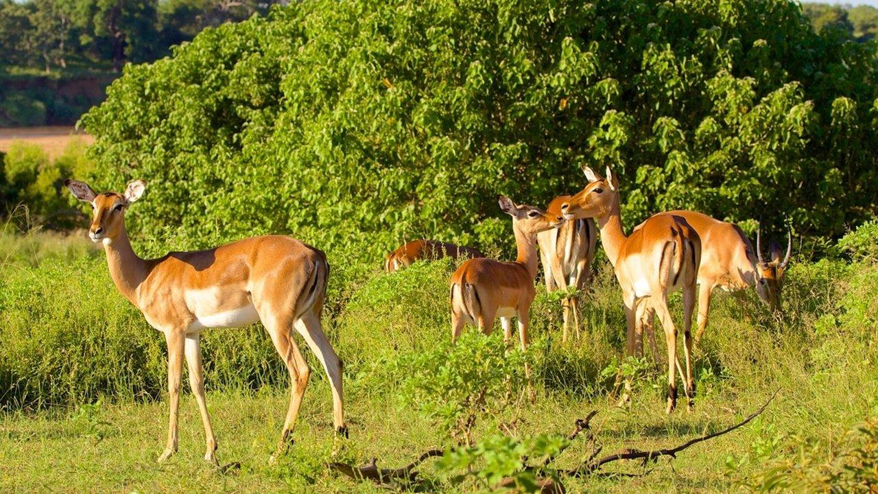 Gazelle Grazing at Kruger National Park