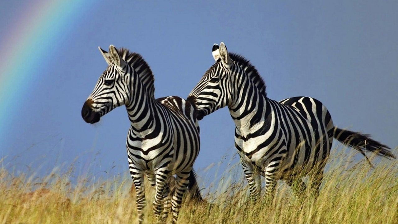 Zebras grazing at Kruger National Park