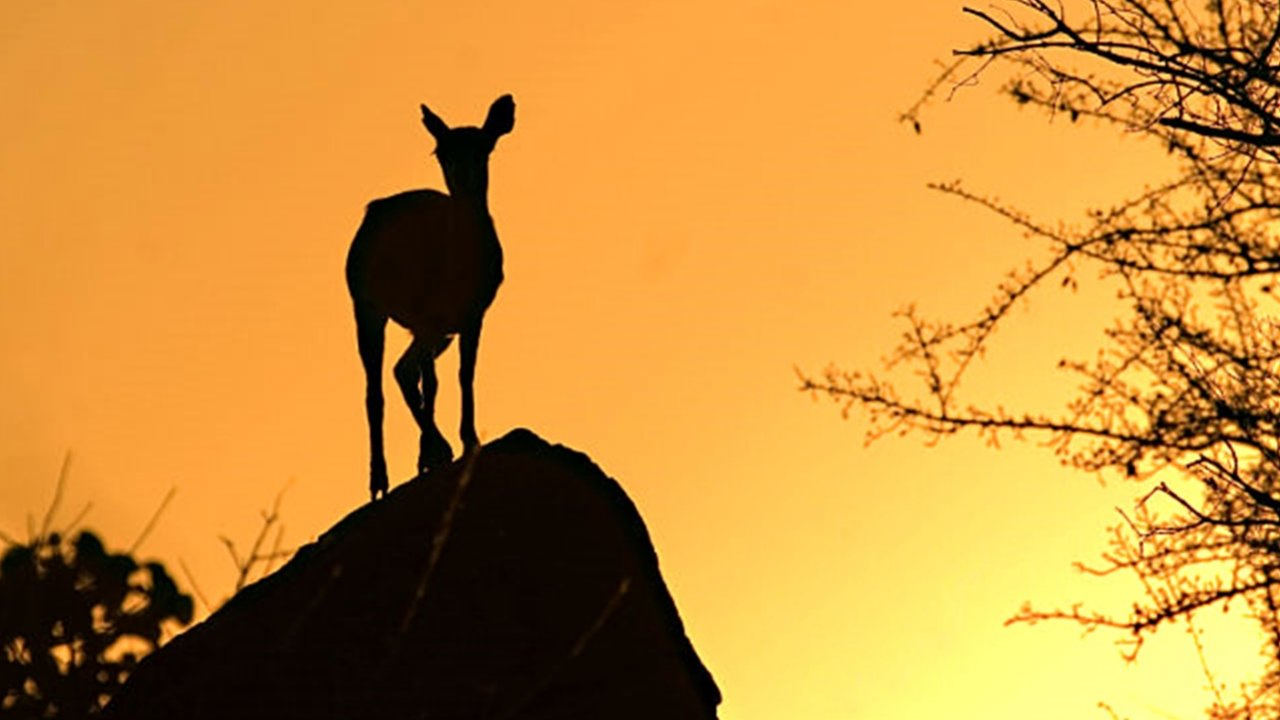 Gazelle at sunset