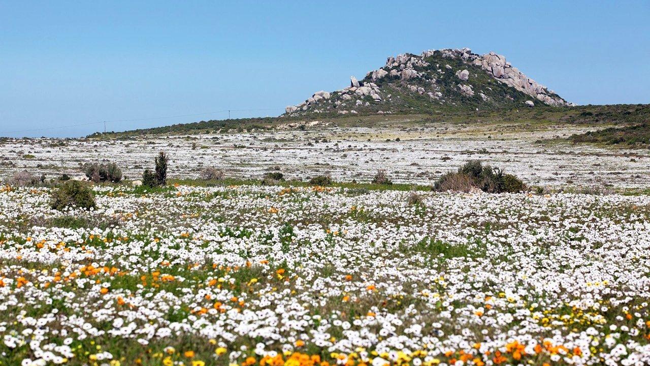 Spring Wild Flowers Namaqualand
