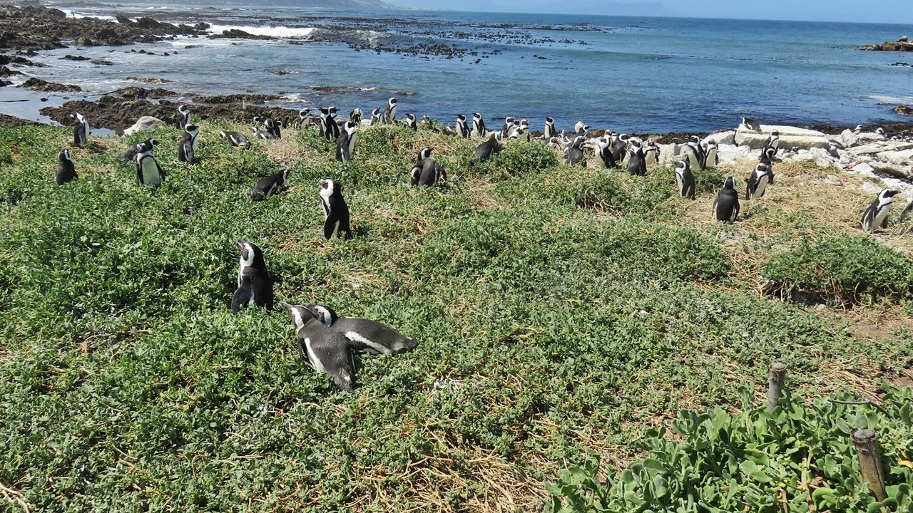 Penguins at Stony Point Penguin Colony visit