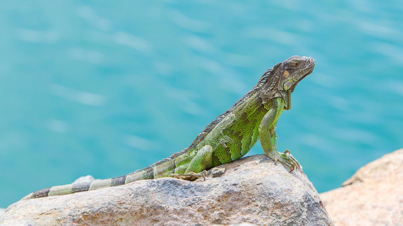 An Iguana sunbathing