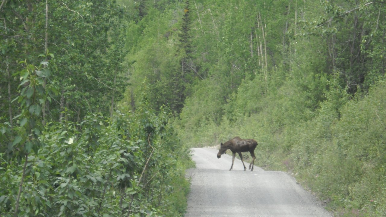Moose crossing the McCarthy Road