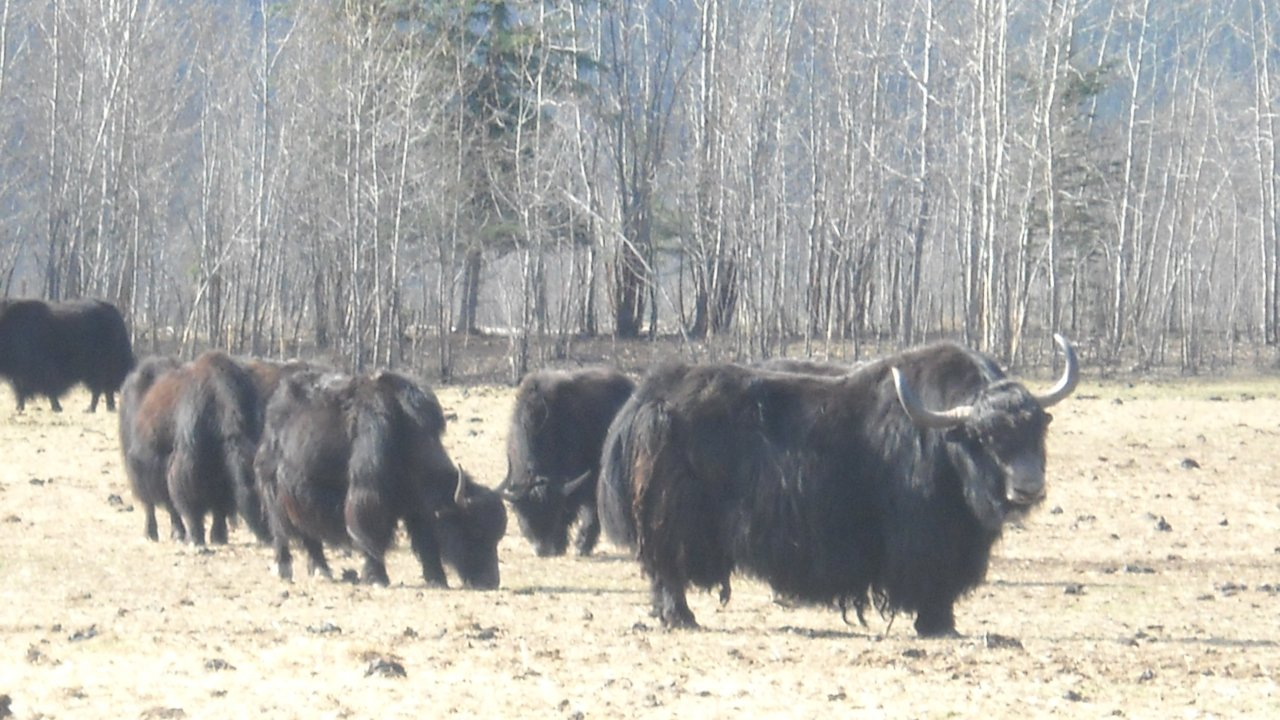 Yak Farm in Kenny Lake