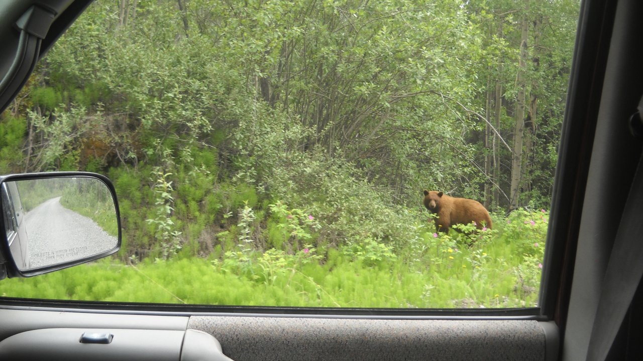 Grizzly bear on the McCarthy Road