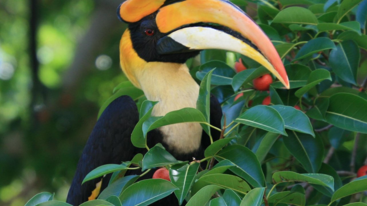 The Great Hornbill - Our largest bird
