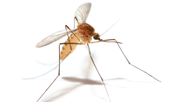 What To Know About Mosquitoes