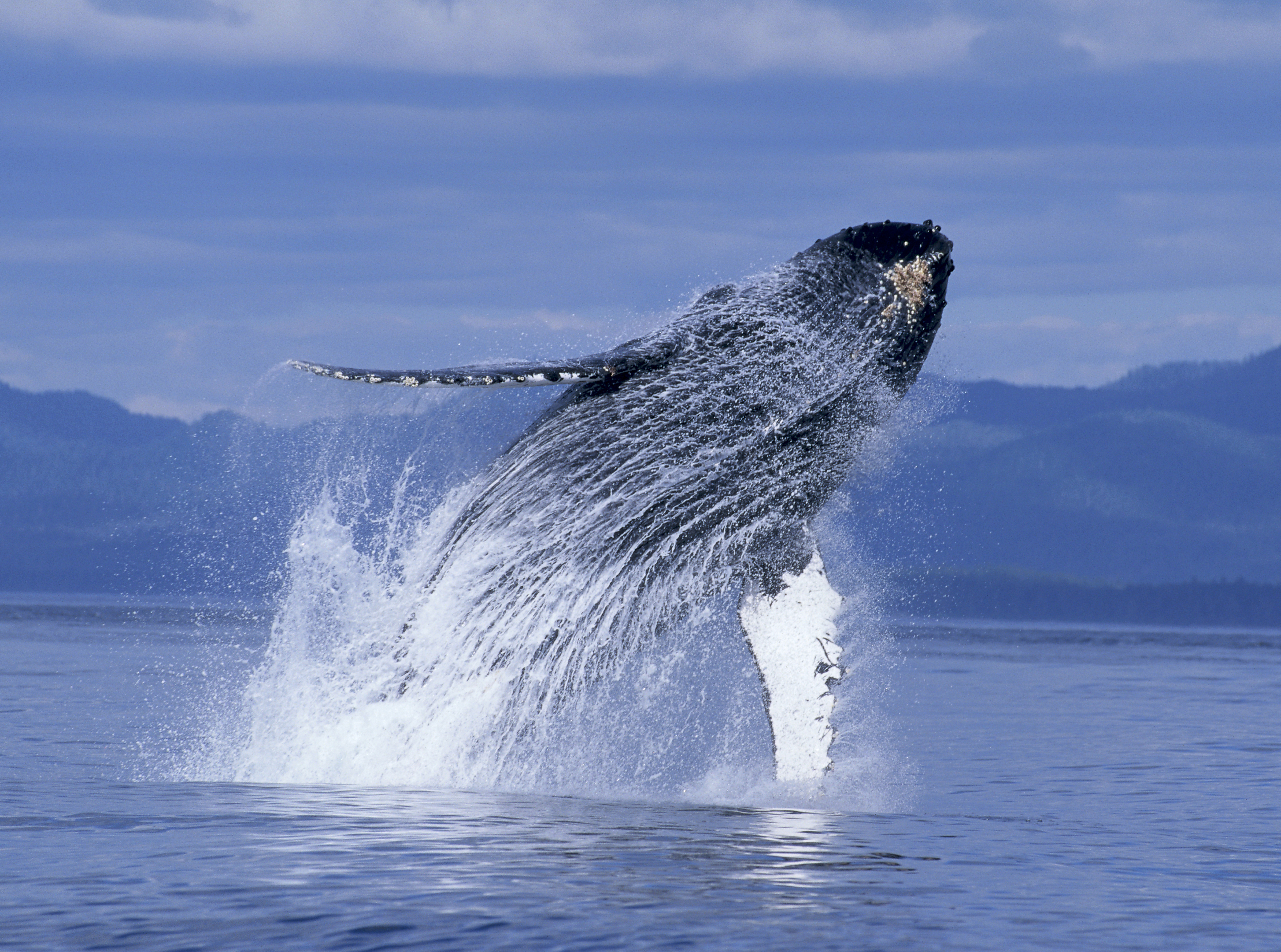 Humpback Whales At The Dome: Fascinating, Fun, And Inspired