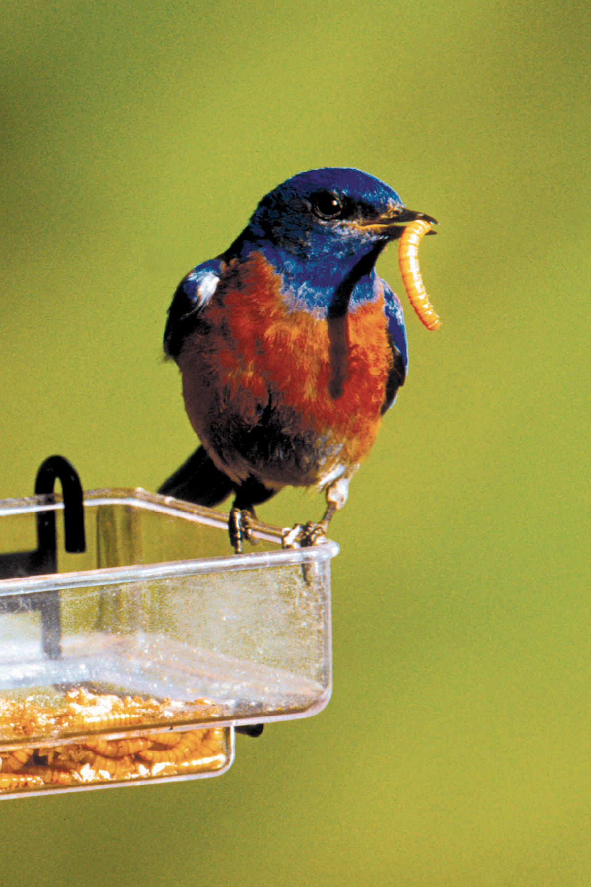 Attracting Bluebirds to Your Backyard this Spring ...