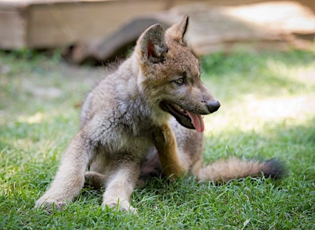 Busch Gardens Adopts Orphaned Wolf Pup