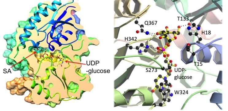 Crystal structures of UGT74F2.  Overall structure with longitudinal section through the active site (left). Close-up of the active site showing binding site for UDP-glucose (right).