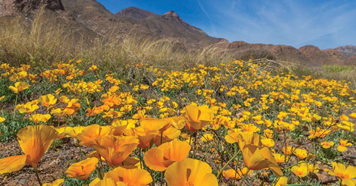 El Paso Poppies