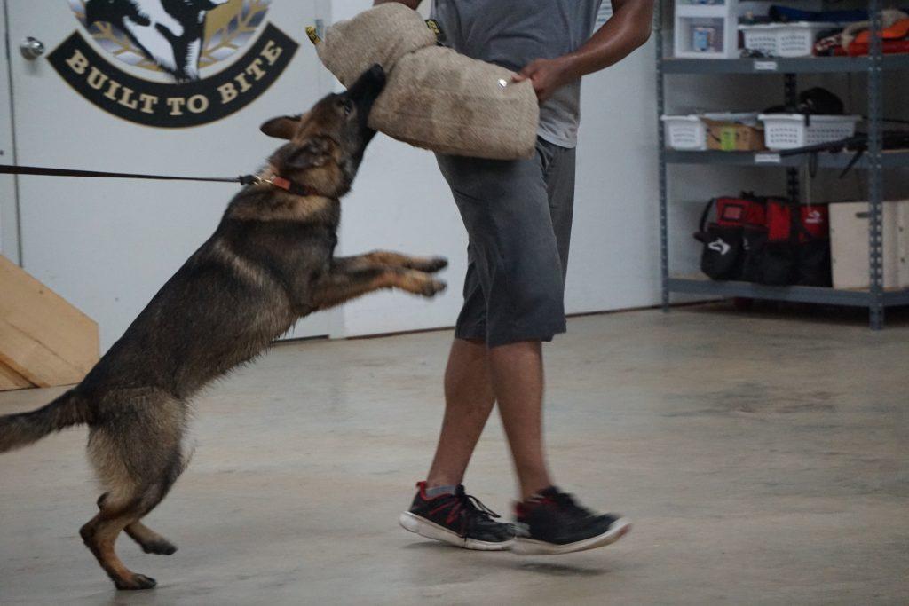 Dog doing protection dog training