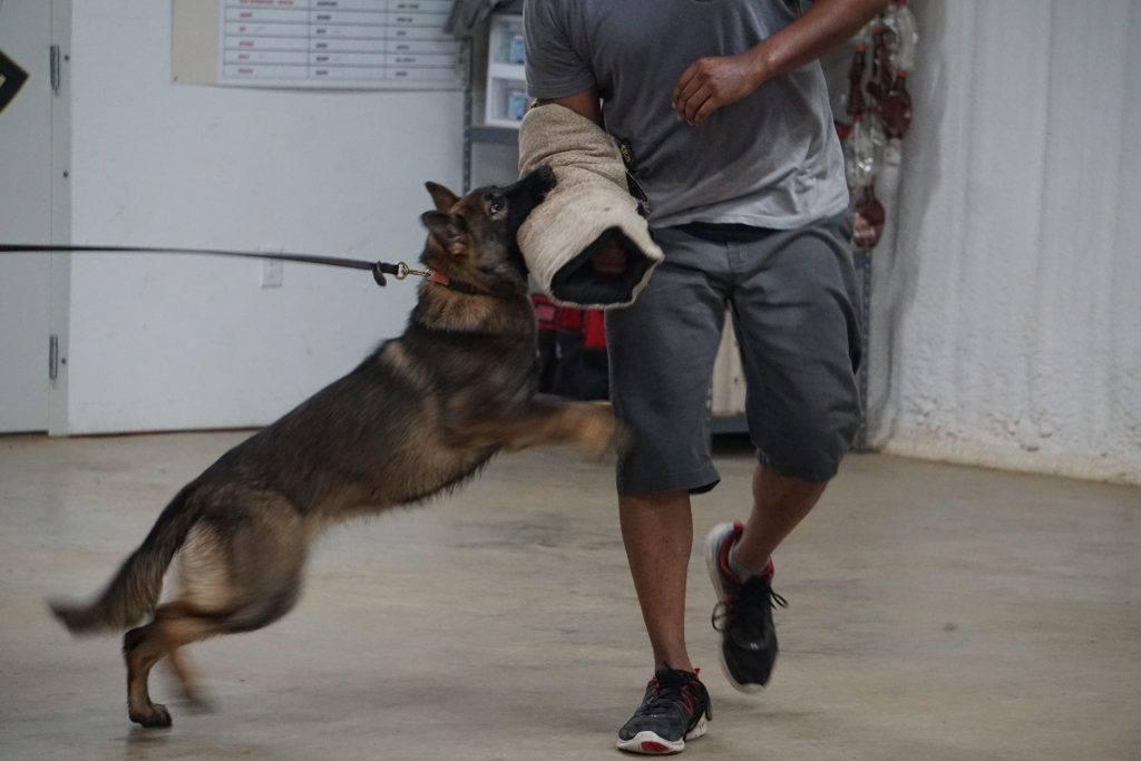 Dog attacking a bite sleeve