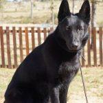 Black pup sitting looking at the camera