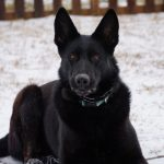 Black dog laying in the snow